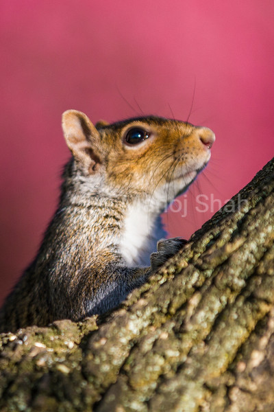 Grey Squirrel scanning from a tree top