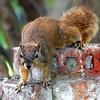 Unusual Fox Squirrel