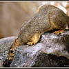 Squirrel at Water Fountain