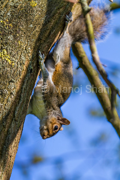 Grey Squirrel coming down from the tree top.