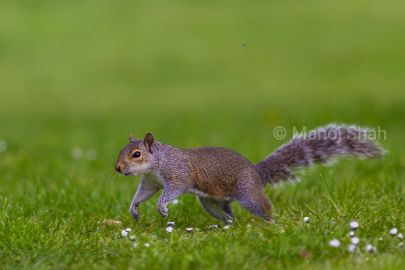 Squirrel on the run.