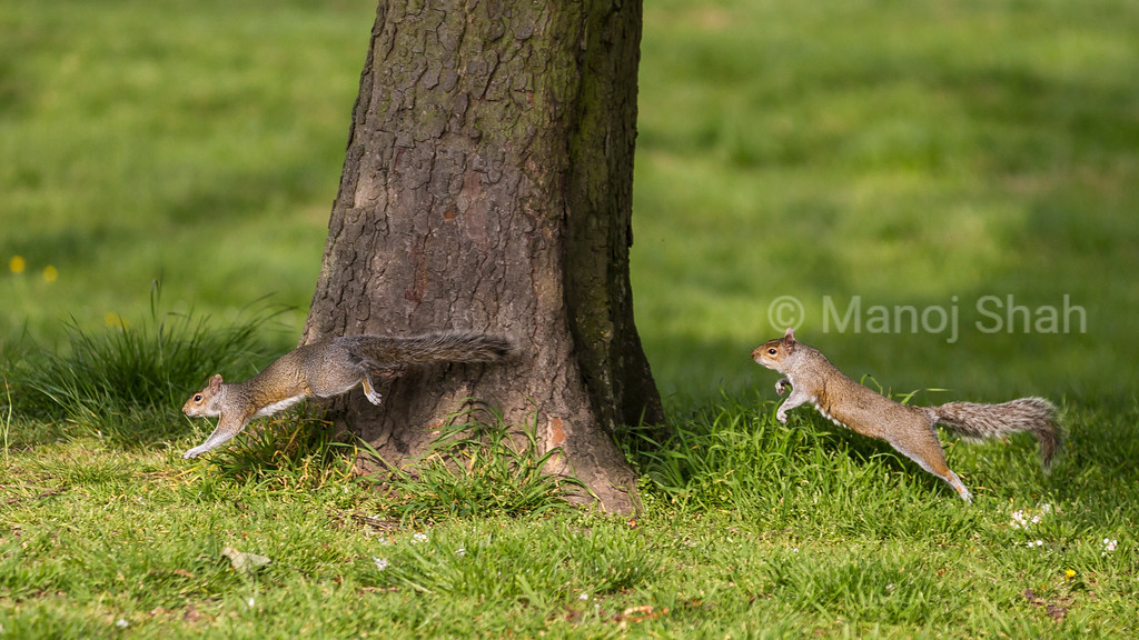 Grey Squirrel chasing another one out of its territory.
