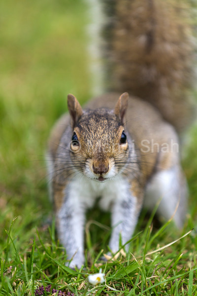 Grey Squirrel looking at the photographer.