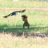 Mockingbird vs Squirrel Part 4