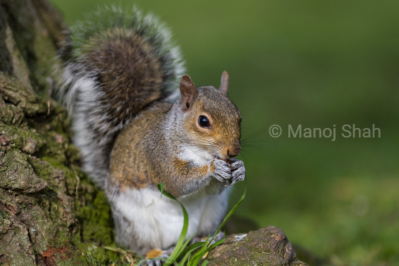 Grey Squirrel at the bottom of a tree in a London Park eating a nut.