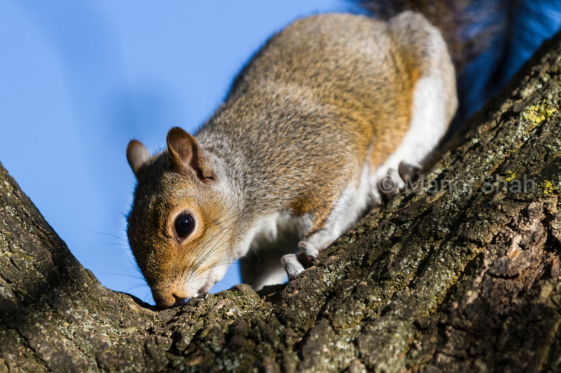 Grey Squirrel smelling tree trunk.