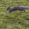 Grey Squirrel jumping and running