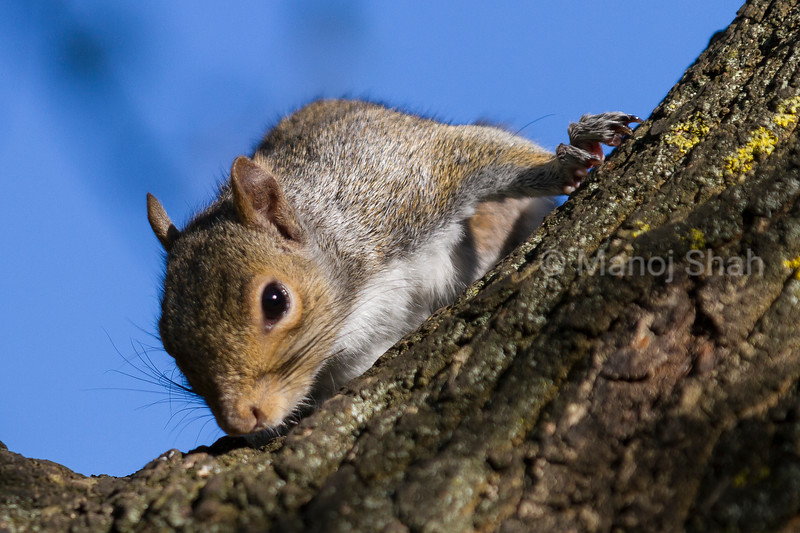 Grey Squirrel smelling tree trunk.