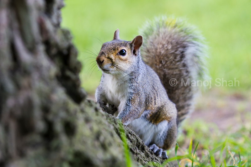 Squirrel under a tree in a London Park