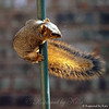 One More of the Little Squirrel Who Could Not Make it Up to the Feeder