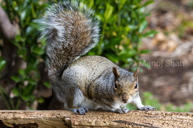 Grey Squirrel on a log