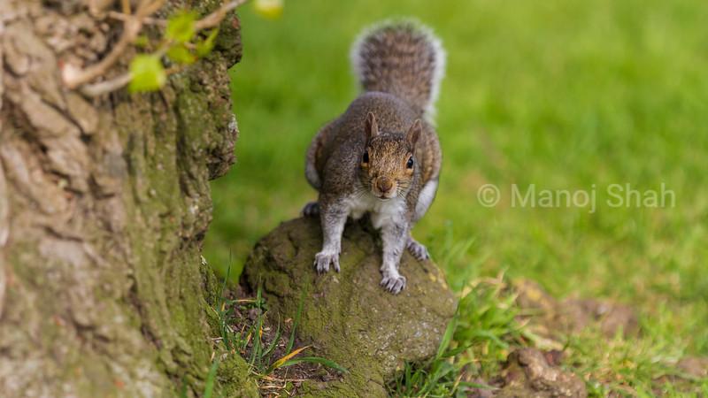 Grey Squirrel on a rock.