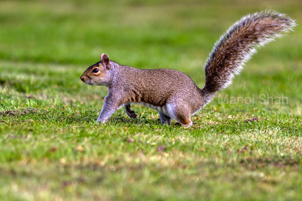 Grey Squirrel walking to the trees.