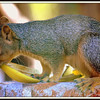 Squirrel Chewing on Banana Peel