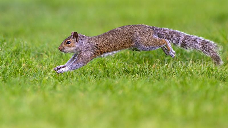 Grey Squirrel running.