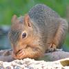 Blue -Eyed Blond Fox Squirrel