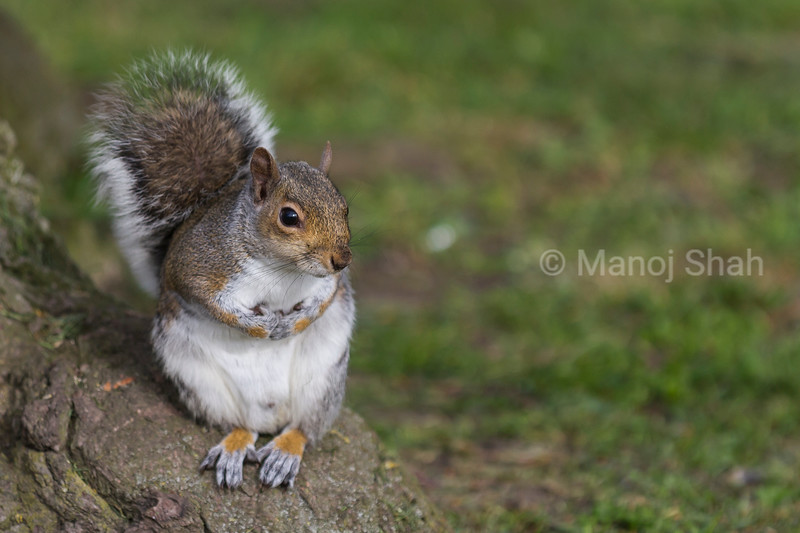Grey Squirrel at the bottom of a tree.