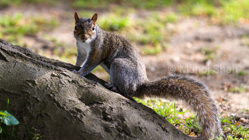 Grey Squirrel on a fallen log.