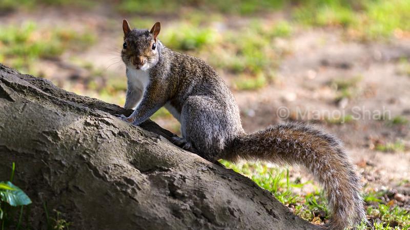Grey Squirrel on a fallen log.