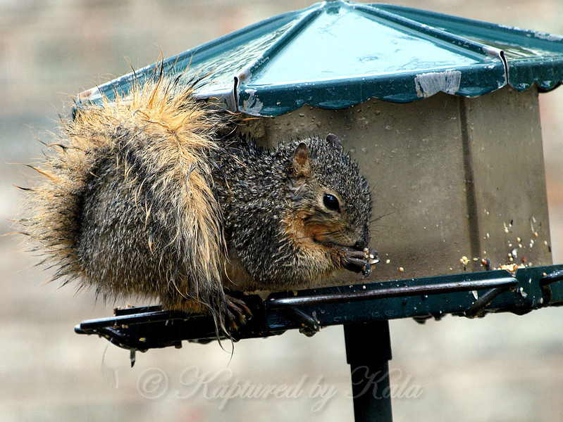 Even in a Rainstorm, a Squirrel Gotta Eat