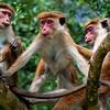 Toque macaque monkeys groom each other, Mulkirigala, Sri Lanka