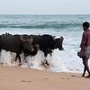 Man and cows on Marakolliya Beach, Tangalla, Sri Lanka