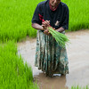Woman bundles young rice to be replanted in larger field, Kandy, Sri Lanka