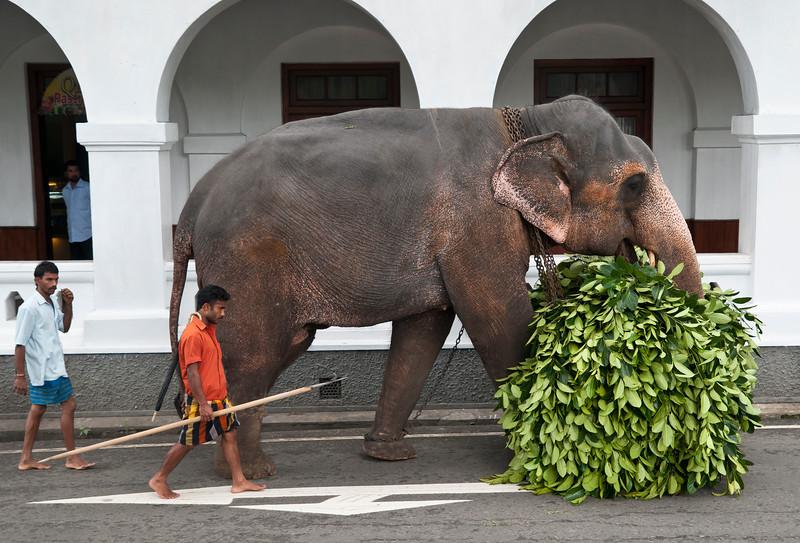 Elephant carries its fodder, Kandy, Sri Lanka