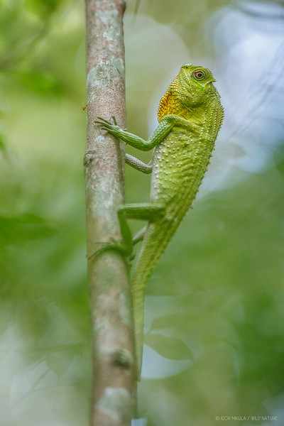 Hump-nosed lizard (Lyriocephalus scutatus )