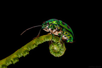 Green jewel bug ( Chrysocolis stolli )