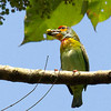 Crimson-fronted Barbet or Ceylon Small Barbet (Endemic)