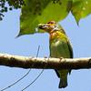Crimson-fronted Barbet or Ceylon Small Barbet (Endemic)