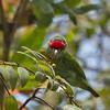 Crimson-fronted Barbet / Ceylon Small Barbet