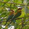 Chestnut-headd Bee-eaters