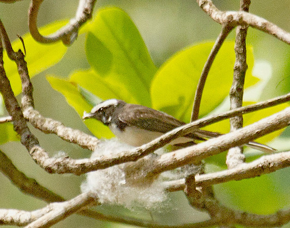 White-browed Fantail ( there was a pair building a nest.)