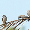 Ashy Woodswallows