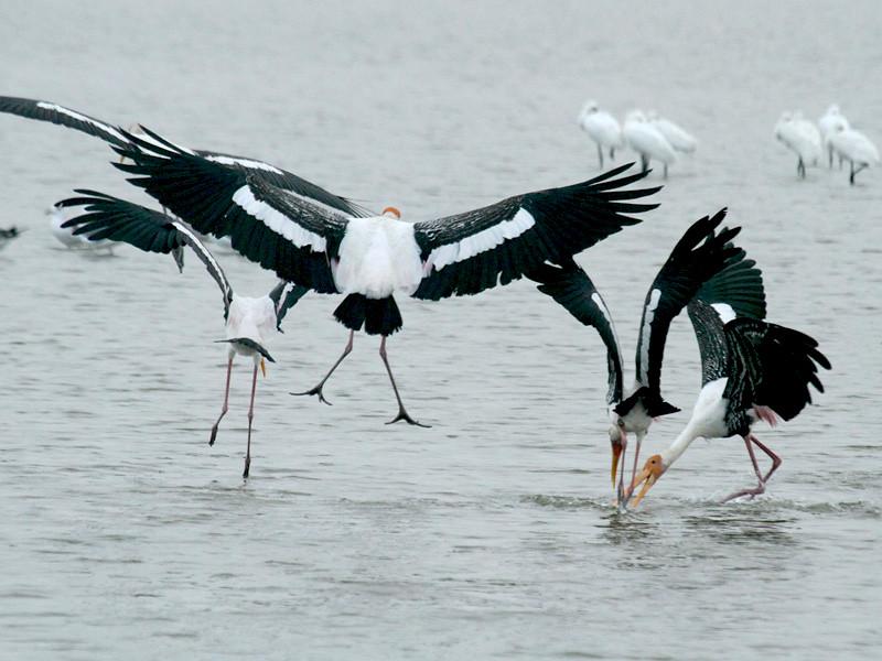 Painted storks - Mannar salterns