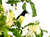 Purple-rumped Sunbird (Male)-Chundikulam