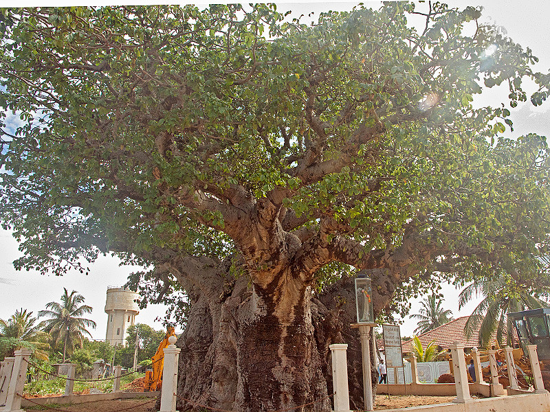 """Baobab Tree-  7.5 meters tall and circumference of 19.5 meters. The history of this tree is said to be over 700 years old. It is thought to have been first brought to Sri Lanka by Arab merchants as Mannar was once known to be a vast centre for trade. The legend is that African slaves who were settled near Sirambiwadiya in Puttalam had brought this tree down from Africa. The tree is famously called by the Sinhalese as """"aliya gaha which literally means elephant tree due to its girth and rough bark which resembles an elephant's hide."""