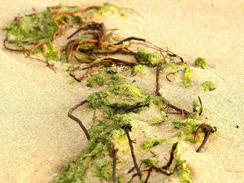 Seaweeds on the beach