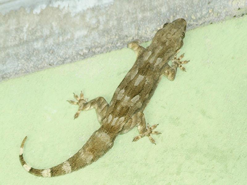 Giant Gecko