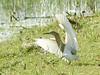 Indian Pond Heron - Chundilkulam