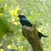 Sri Lanka Drongo