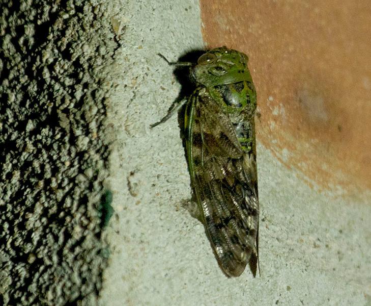 Cicada or Moth?