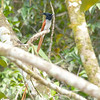 Asian Paradise-flycatcher (Male)