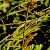 Fern frond (edible)