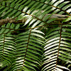 Gian tree Ferns cover the slopes