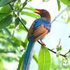 Sri Lanka Blue Magpie (Endemic)
