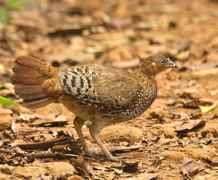 Sri Lanka Junglefowl (female)- Endemic