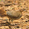 Sri Lanka Junglefowl (female)- Endemic
